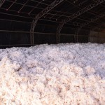 Cotton6
